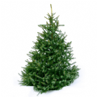 Norway Spruce Traditional